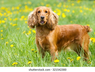 Englishl cocker spaniel on the  grass