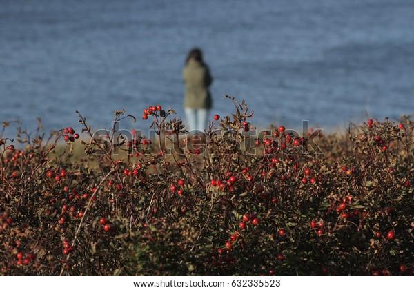 ENGLISHTOWN, NOVA SCOTIA - OCT 16 2016.  A woman gazes over the St Anns Harbour behind a wild rose bush
