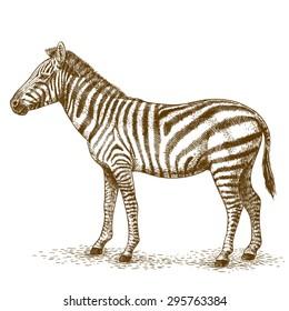 engraving antique illustration of zebra isolated on white background