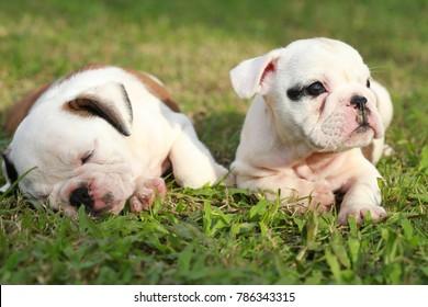 enlish bulldog puppy enjoy life on greensward