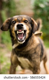 Enraged aggressive, angry dog. Grin jaws with  fangs  ,  hungry,  drool. Dog attacks. Dog bites
