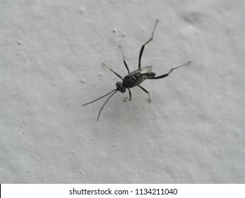 Ensign wasp on wall closeup ( nightshade or hatchet wasp is a parasitic wasp )