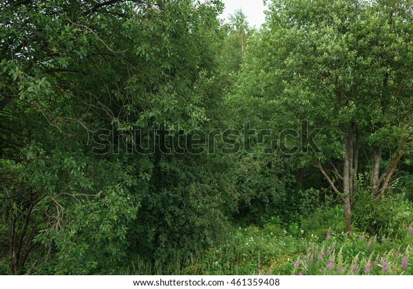 entering of the fir forest in calm summer forest