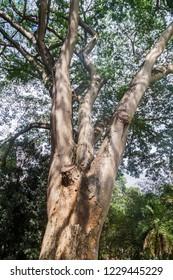 Enterolobium cyclocarpum (guanacaste, caro caro, or elephant-ear tree) in Royal Botanic Gardens near Kandy, Sri Lanka