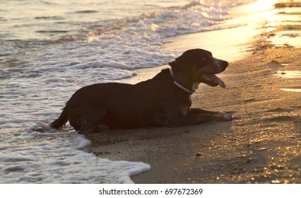 Entlebucher mountain dog on the sea beach relaxing after swimming at sunset.
