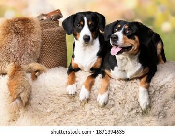 Entlebucher Mountain Dog; portrait of a dog close-up, tvo dogs