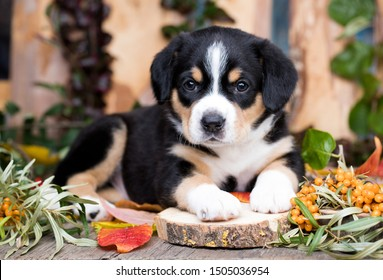 Entlebucher Mountain Dog puppy and  berries