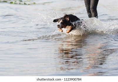 Entlebucher Sennenhund. Dog jumps out of the water. dog runs in the water behind the ball. Playing with a dog on the beach.the dog in the water, swim, splash.