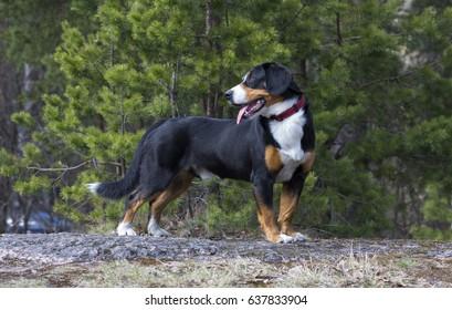 Entlebucher Sennenhund or Entlebucher Mountain Dog in the spring pine trees forest