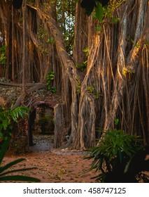 Entrance Through a Banyan Tree