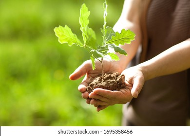 Environment Earth Day In the hands of trees growing seedlings. Bokeh green Background Female hand holding tree on nature field oak.  Forest conservation concept