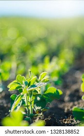 environment Earth Day, Saving environmental sustainability in ecosystem one plant Glycine max, soybean, soya bean sprout growing soybeans on an industrial scale. Products for