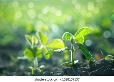 environment Earth Day, Sustainable environment in ecosystem one plant Glycine max, soybean, soya bean sprout growing soybeans on an industrial scale. Products for