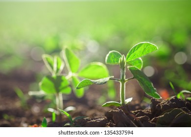 environment Earth Day, Sustainable environment. one plant Glycine max, soybean, soya bean sprout growing soybeans on an industrial scale. Products for