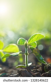 environment Earth Day, Sustainable environment, Saving environmental sustainability in ecosystem one plant Glycine max, soybean, soya bean sprout growing soybeans. Products for