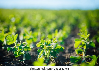 environment Earth Day, Sustainable environment, Saving environmental sustainability in ecosystem one plant Glycine max, soybean, soya bean sprout growing soybeans on an industrial scale.