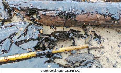 Environmental Crisis sea crabs were black oil coated the full. Try walking on the beach To find a way to survive
