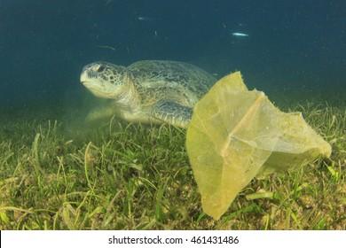 Environmental problem: plastic bags on ocean floor threat to turtles