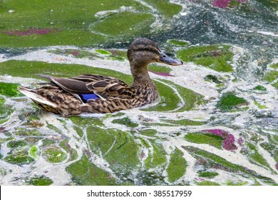 Environmental protection: Ducks family in dirty water