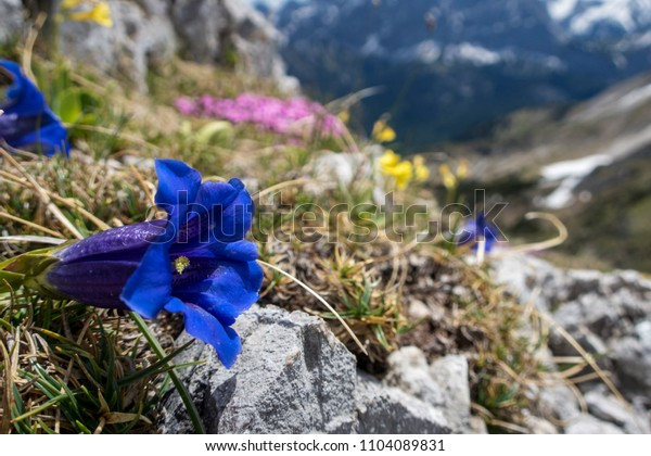 Enzian flowers in the Soierngruppe in Bavaria