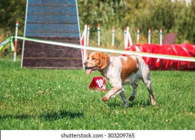 Epagneul Breton dog running in agility