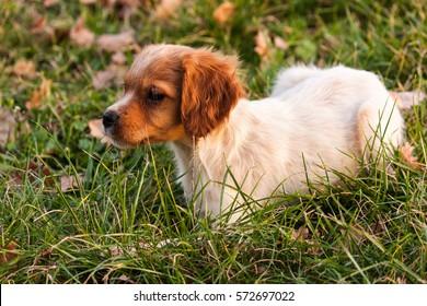 Epagneul Breton puppy