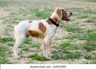 Epagneul Breton, spaniel breton, Brittany Spaniel, Bretonischer Spaniel / hunting dog purebred Epagneul Breton looking at the Hunting Lodge