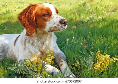 Epagneul Breton, spaniel breton, Brittany Spaniel, Bretonischer Spaniel / hunting dog lies on the grass with mimosa.