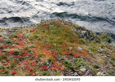 Ephedra horsetail, lat. Ephedra equisetina Bge., plant with beneficial healing properties
