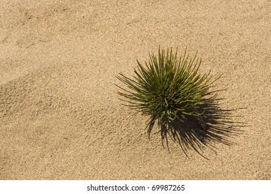Ephedra plant in a desert