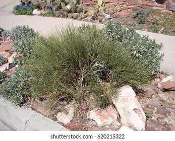 Ephedra Viridis Images, Stock Photos & Vectors | Shutterstock