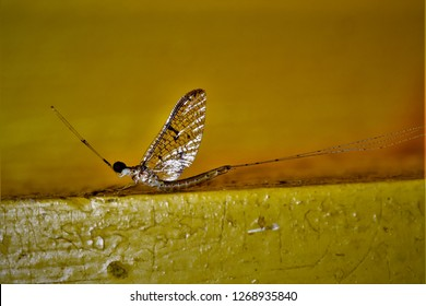 Ephemera hainanensis, a mayfly found in Sichuan, China.