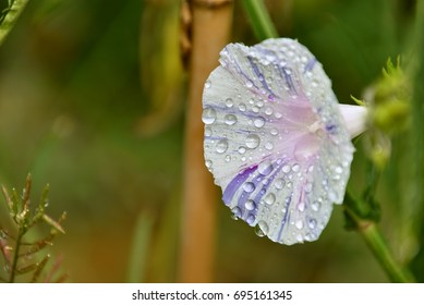 Ephemeral, poetic morning glory with water drops, after rain
