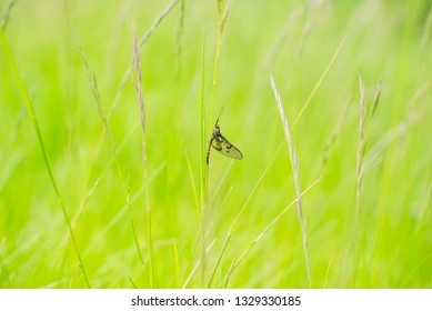 Ephemeroptera - common mayfly perched on a blade of grass
