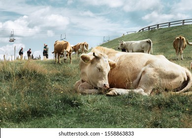 Epic scene of cattle on a hill - livestock of cows calm and sleeping, eating, enjoying in the evening on a countryside; 13.11.2019