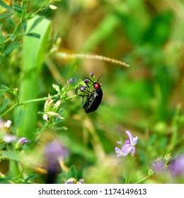 An Epicauta rufidorsum, a beetle with the red head, hanging on a purple flower in a blurry garden.