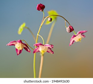 Epimedium flowers in spring in garden. Plant is native to China.
