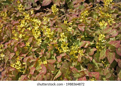 Epimedium. The majority of the species are endemic to China, with smaller numbers elsewhere in Asia, and a few in the Mediterranean region.