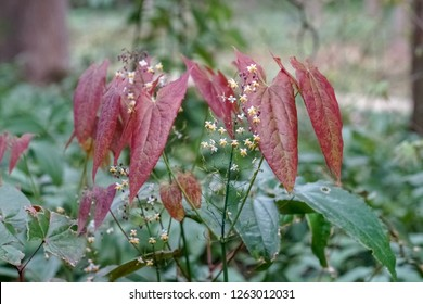 Epimedium sagittatum, also known as barrenwort, bishop's hat, fairy wings, horny goat weed, or yin yang huo, is a kind of traditional chinese herb