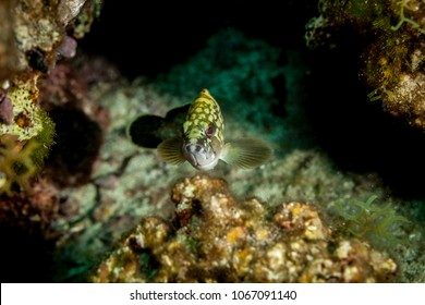 Epinephelus marginatus, the dusky grouper, the yellowbelly rock cod or yellowbelly grouper, is the best known grouper of the Mediterranean Sea and North Africa coast.