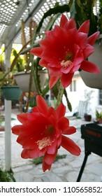 Epiphyllum in back yard