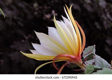 Epiphyllum cactus flower sideways