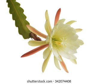 Night blooming cereus images stock photos vectors shutterstock epiphyllum flower isolated on white background queen of the night mightylinksfo