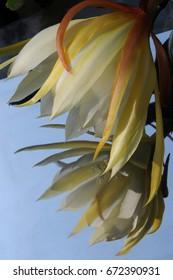 Epiphyllum flower in a mirror