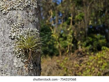 Epiphytic plant, Tillandsia stricta