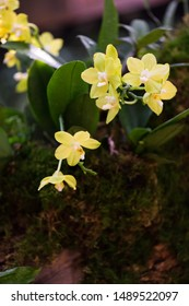 Epiphytic plant yellow orchid growing on tree trunk