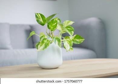 Epipremnum aureum plant or golden pothos on wooden table in living room. epipremnum aureum (linden & andr?) g.s.bunting in gray ceramic pot.