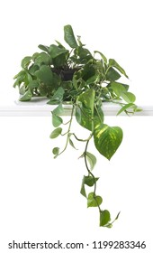 Epipremnum aureum potted plant in front of white background
