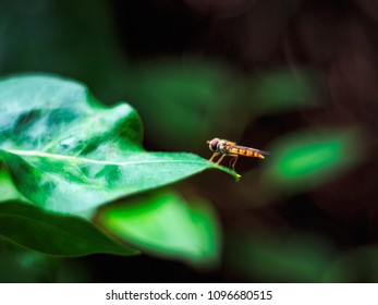Episyrphus balteatus, marmalade hoverfly  stands on a green leaf.
