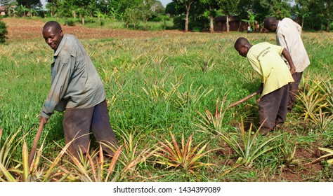 EQUATOR, UGANDA - NOV 1: Unidentified workers working on a pineapple field on November 1, 2012 at the Equator, Uganda. Agriculture is an important sector in Uganda. It employs 68% of the population.